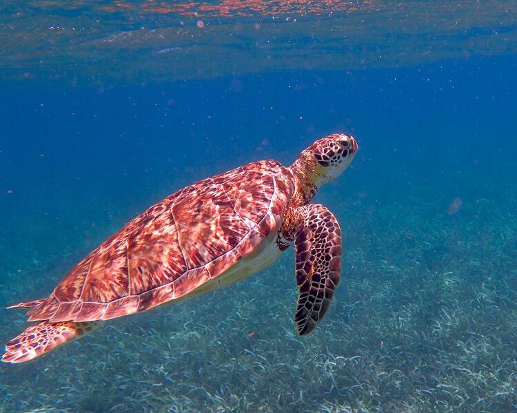 Swim with Sea Turtles in Akumal Bay, Mexico